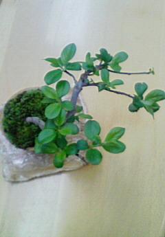 ミニミニ盆栽
